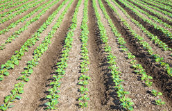 Rows of  plants in a cultivated farmers Stock Image