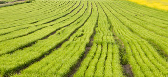 Rows of plants on cultivated field Royalty Free Stock Photos