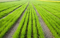 Rows of plants on field Royalty Free Stock Photo