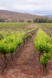 Rows of plants in vineyard Stock Photo