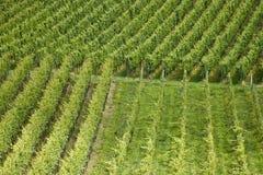 Rows of plants in vineyard. Aerial view of rows of green vine plants in vineyard Stock Images
