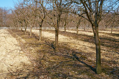 Rows of plum trees in an orchard Royalty Free Stock Image