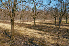 Rows of plum trees in an orchard Royalty Free Stock Photo