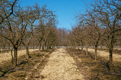 Rows of plum trees in an orchard Stock Photography