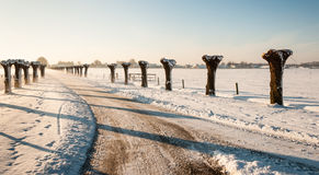 Rows of pollard willows along a country road in winter Stock Images