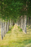 Rows of poplars Stock Photography