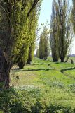 Rows of poplars in the countryside. In bloom Royalty Free Stock Photography