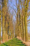 Rows of poplars, pattern Stock Images