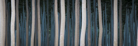 Rows of poplars in a tree farm Stock Photo