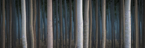 Rows of poplars in a tree farm. For the paper industry Stock Photos