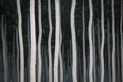 Rows of poplars in a tree farm Royalty Free Stock Photos