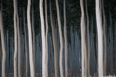 Rows of poplars in a tree farm Stock Images