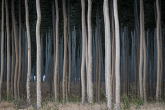 Rows of poplars in a tree farm. For the paper industry Royalty Free Stock Image