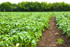 Rows on Potato field. Potato field rows with green bushes, close up Royalty Free Stock Image