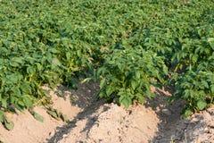 Potato field Royalty Free Stock Photography