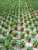 Rows with pots with young Celosia plants Royalty Free Stock Photos