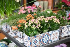 Rows of potted pink and coral kalanchoe blossfeldiana plants in the garden shop for sale in spring time. stock images