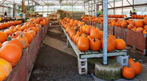 Rows of pumpkins in bins at a farmers market Stock Photography