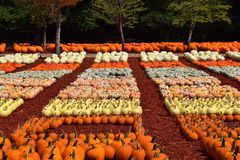 Rows of Pumpkins Royalty Free Stock Photos