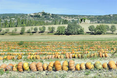 Rows of pumpkins in a field Royalty Free Stock Photo