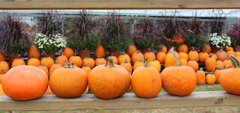 Rows of pumpkins and hardy mums Stock Photos