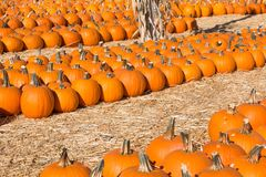 Rows of Pumpkins in Hay at a Pumpkin Patch Royalty Free Stock Photos