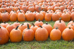 Rows of Pumpkins Royalty Free Stock Photo