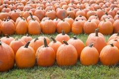 Rows of Pumpkins Royalty Free Stock Photo