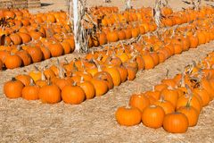 Pumpkins in Rows For Sale at a Pumpkin Patch. Rows of pumpkins at a pumpkin patch ready for sale Royalty Free Stock Photography