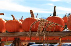 Rows of pumpkins on wood shelving Stock Image