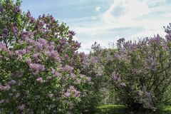 Rows of purple lilacs along grass path in the park. Multiple varieties of purple lilacs flowering in the spring sunshine. Dark green leaves and blue sky in the royalty free stock photo
