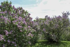 Rows of purple lilacs along grass path in the park. Multiple varieties of purple lilacs flowering in the spring sunshine. Dark green leaves and blue sky in the royalty free stock photography
