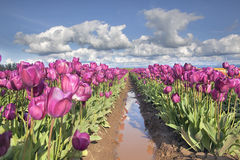 Rows of Purple Tulip Flowers Royalty Free Stock Images