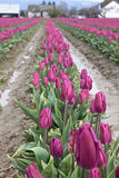Rows of purple tulips near skagit washington Stock Images