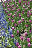 Rows of purple tulips offset by blue grape hyacinths Royalty Free Stock Photography