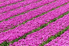 Rows of purple tulips Stock Photo
