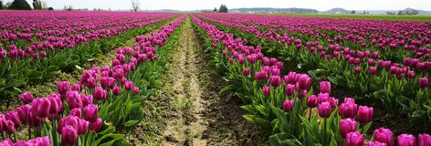 Rows of Purple Tulips in Skagit Valley Stock Photo