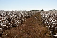 Rows of raw white cotton plants ready and clear skies in rural west Texas. Field and rows of raw white cotton ready for harvest against clear skies in West Texas stock photography