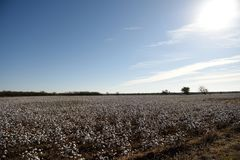 A large field of raw white cotton in rural west Texas. Rows of raw white cotton ready for harvest in the fields of rural West Texas, USA royalty free stock photos