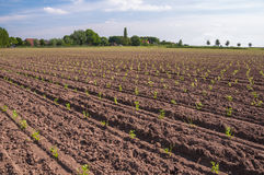 Rows of recently planted Celery plants Royalty Free Stock Image