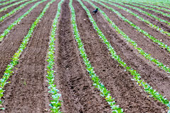 Rows of recently planted lettuce with bird. Rows of recently planted curly green leaf lettuce plants in the fertile soil of a field with a bird picking against Royalty Free Stock Images