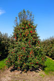 Rows of red apple trees. Royalty Free Stock Images
