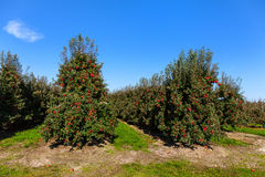 Rows of red apple trees. Stock Photos