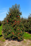 Rows of red apple trees. Stock Photo
