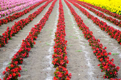 The rows of red begonia Flower garden between with Ameria and ma Royalty Free Stock Photo
