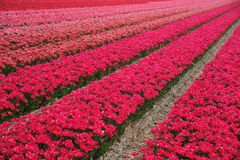 Rows of red flowers Royalty Free Stock Images