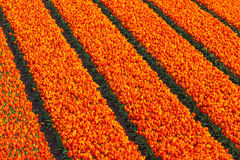Rows of red and orange tulips on a farm field Royalty Free Stock Photo