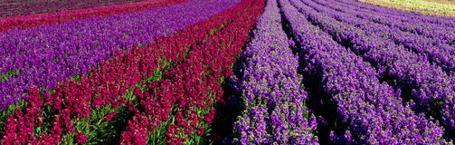 Rows of red and purple snap dragons in  a field Royalty Free Stock Images