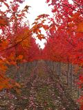 Rows of Red Trees Royalty Free Stock Photography