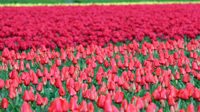 Rows of Red Tulips in Dutch Countryside Stock Photography